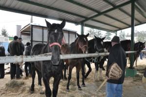 """Skaryszew znany jest z """"końskich"""" tradycji"""