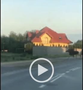 Screenshot_2020-05-29 Łoś biegał ulicami miasta Wrócił do lasu dzięki policjantom i strażnikom